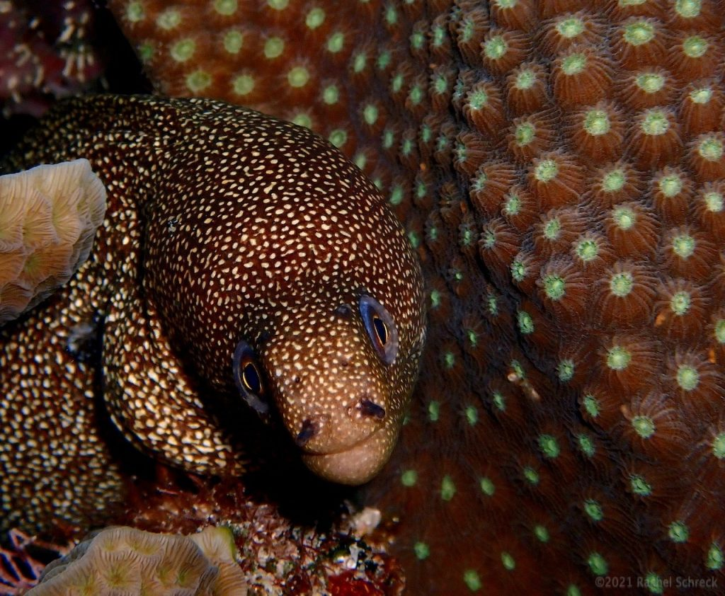 A small goldentail eel nestled into coral that has similar coloring, so it blends in.