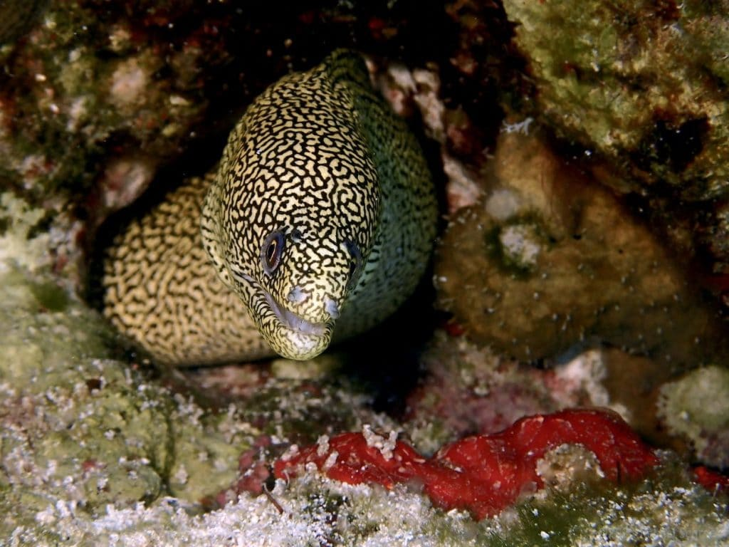 Goldentail moray eel with less common coloring of more yellow background with sharp black markings.