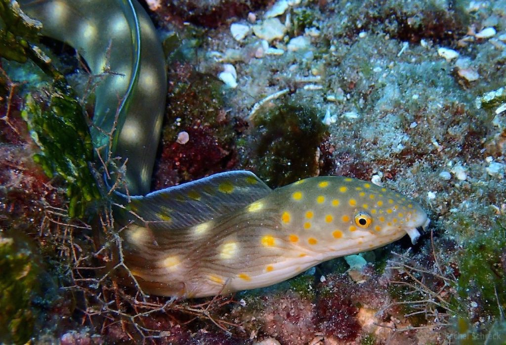 Sharptail eel with bright yellow spots winding through grassy area on Cozumel.