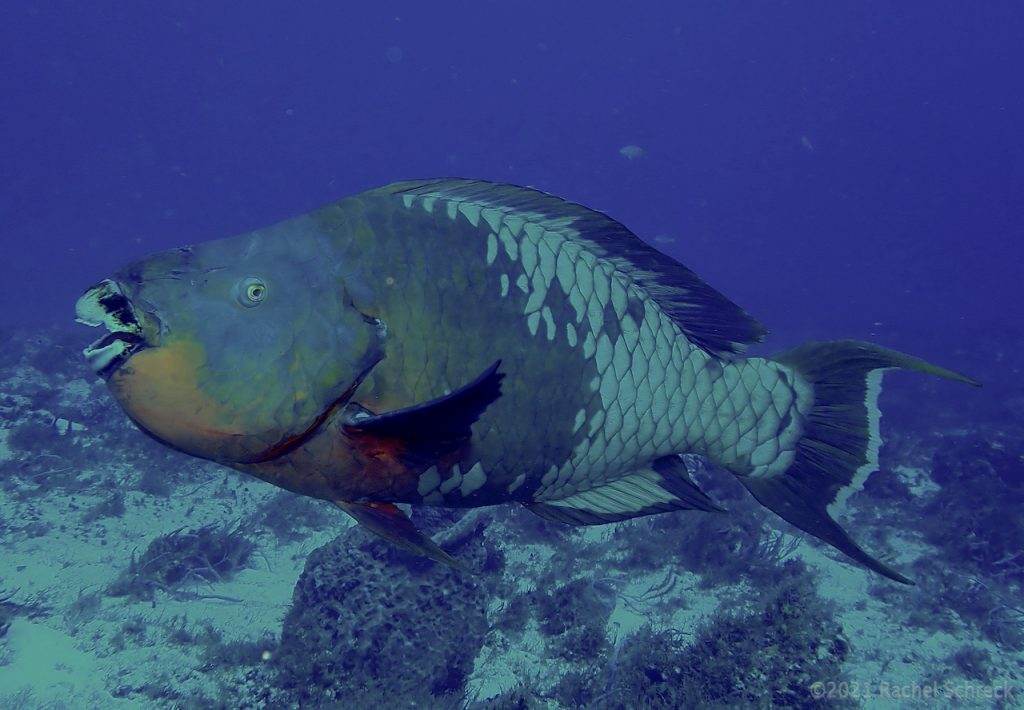Large rainbow parrotfish on Cedral reef in Cozumel, MX.
