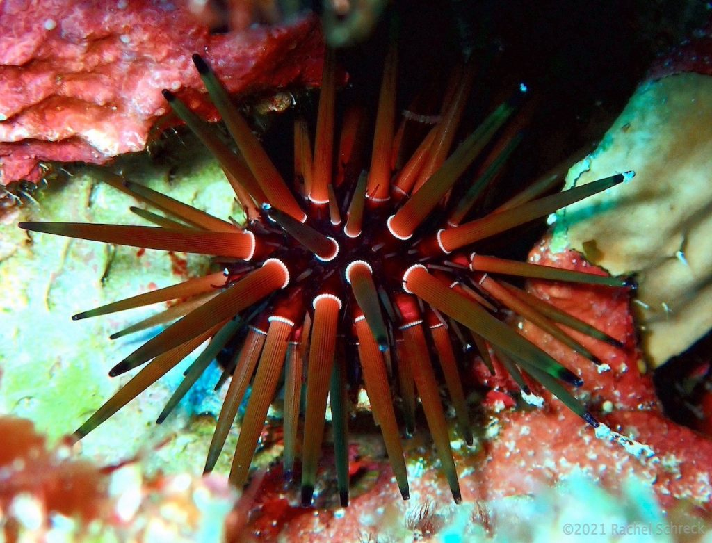 Red reef urchin hiding out in lettuce coral along a deep wall in Palancar.