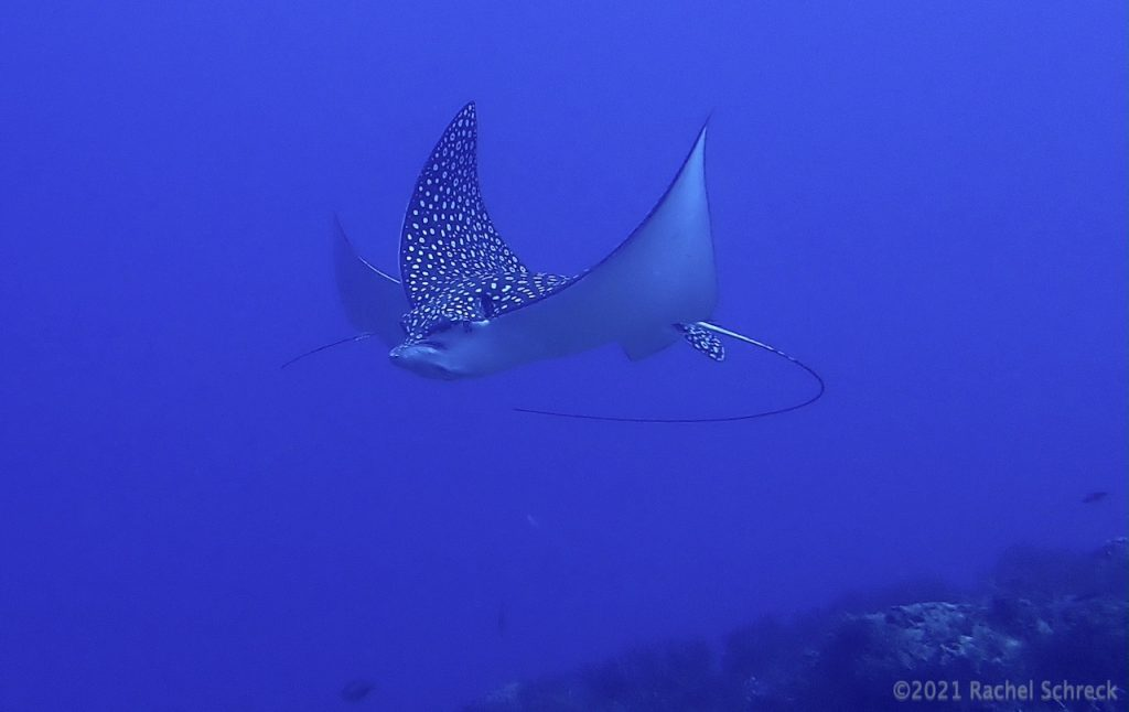 Two spotted eagle rays one adult and one juvenile in July, Cozumel MX.