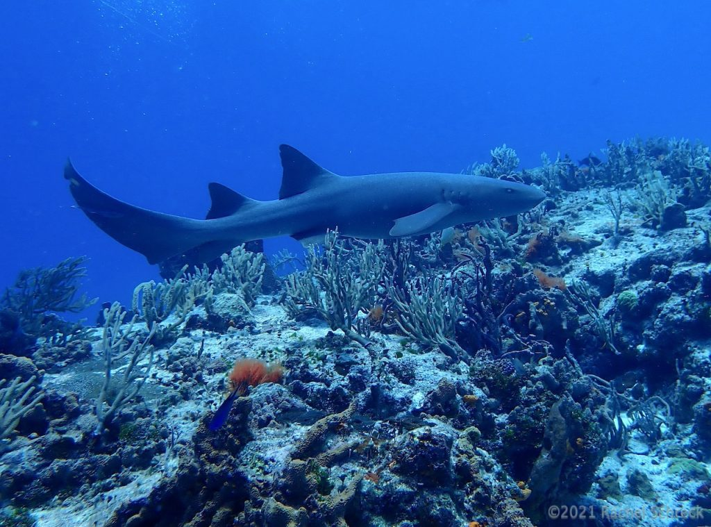 Atlantic reef shark cruising over the reef in Cozumel Mexico.