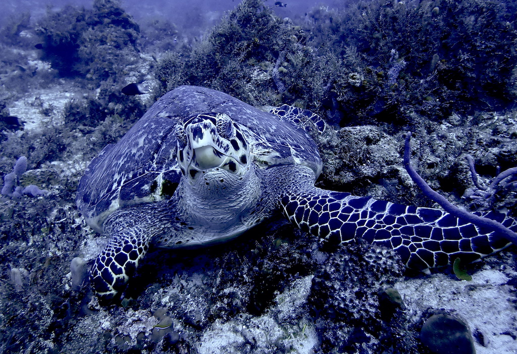 Hawksbill turtle foraging in reef for good, blends in with scenery a bit.