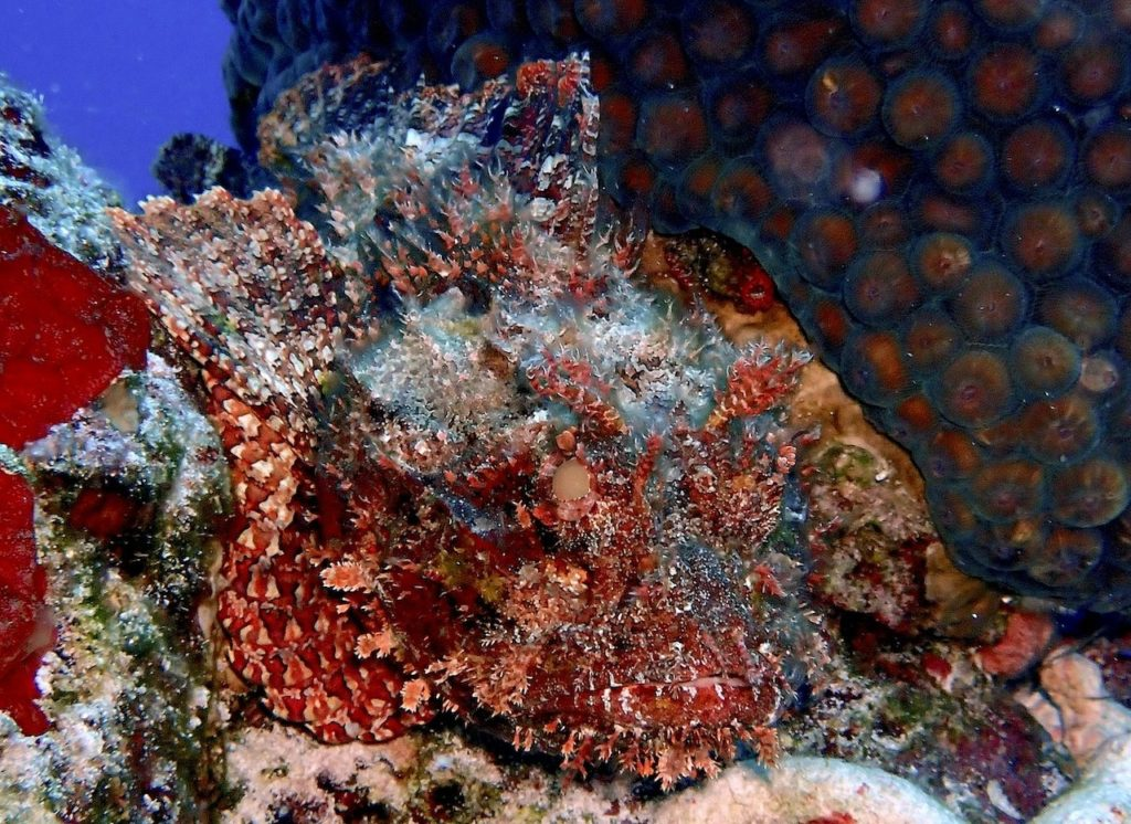 Scorpionfish blending in with multicolored coral background.