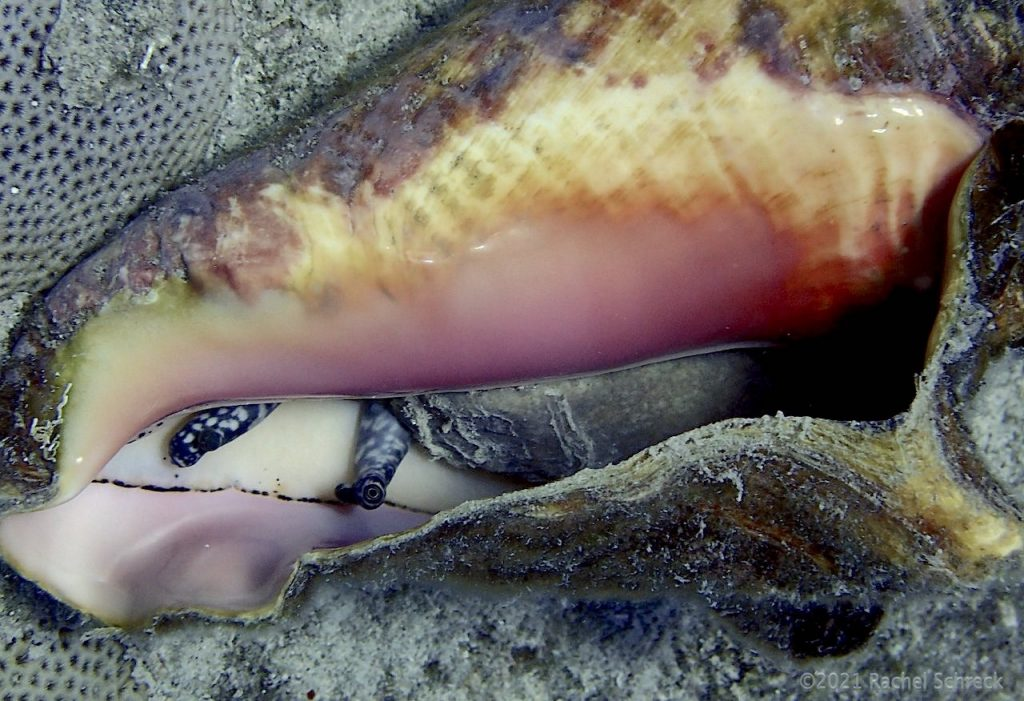Full adult queen conch on its back to you can see animal and pink interior of its shell.