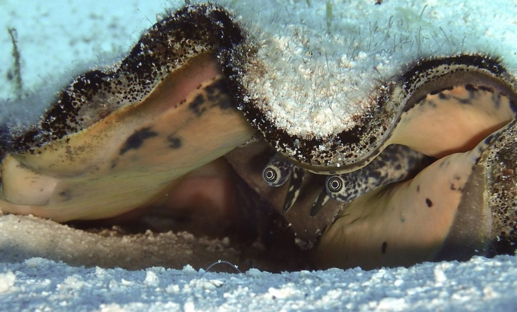 Two queen conch eyes peeking out of large shell in sand, underwater in Cozumel, MX.