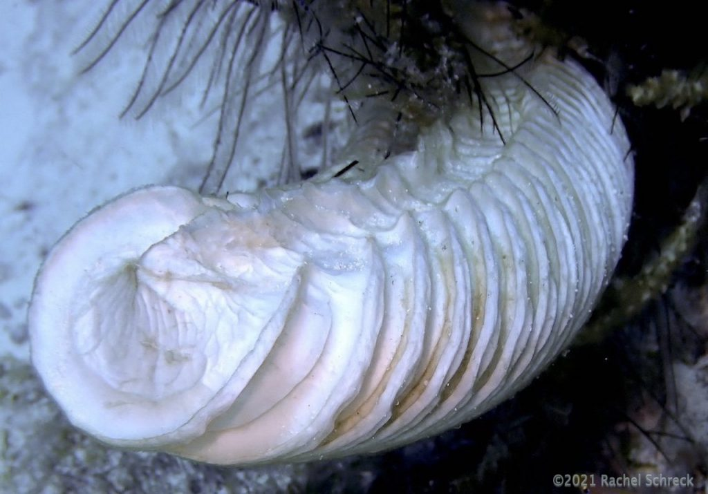 Large white spiraled egg casing from a conch animal in Cozumel.