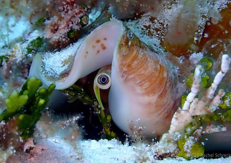 Pretty yellow eye stalk peeking out of smooth white milk conch shell in Cozumel.