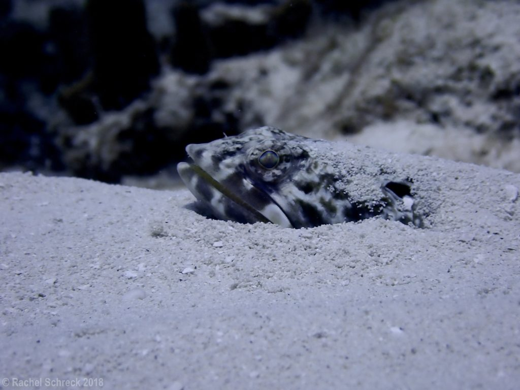 Sanddiver with just its face emerging out of the deep sandy ocean bottom.