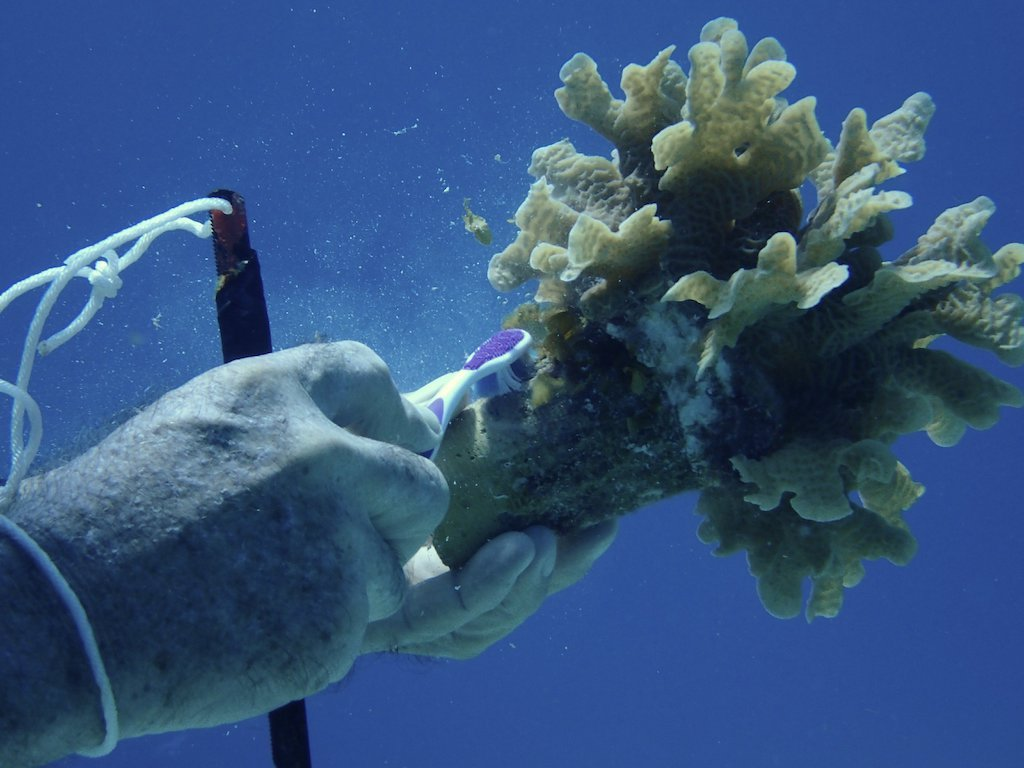 Diver gently brushing algae off of a coral fragment being cultivated at the Cozumel Coral Reef Restoration program.