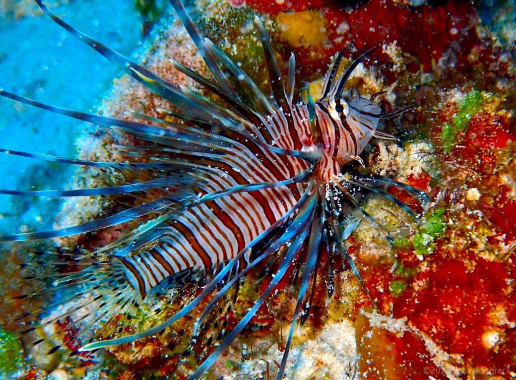 Juvenile lionfish with bright red and white stripes and plume of elaborate - but hazardous - fins.